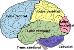Brain_diagram_fr